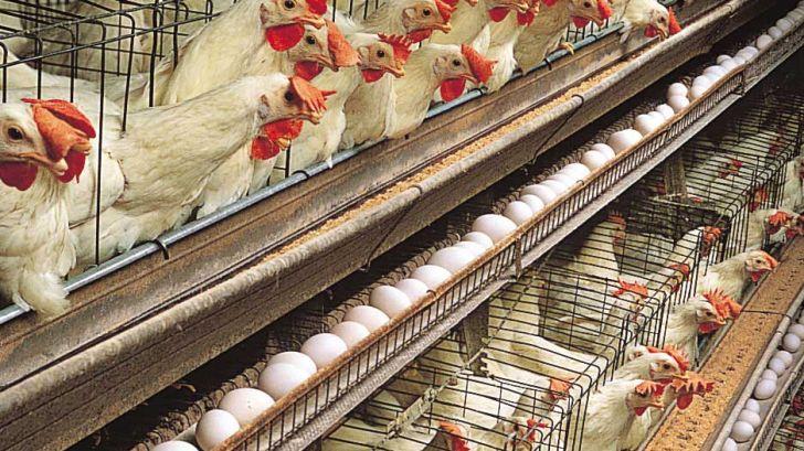 مرغداران توصیههای دامپزشکی را جدی بگیرند