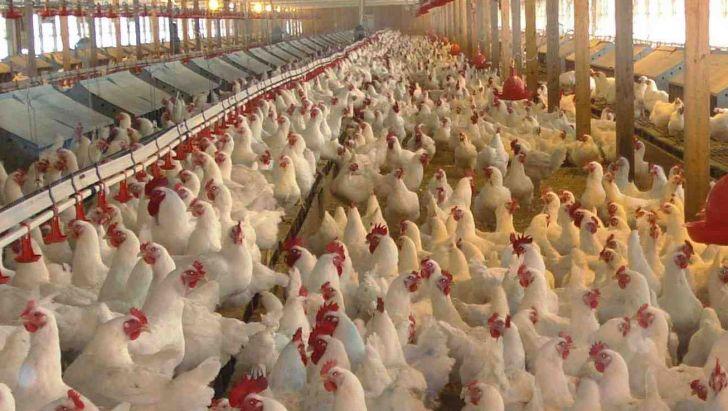 صنعت مرغ مادر مازندران استفاده از واکسن آنفلوآنزا را جدی بگیرند