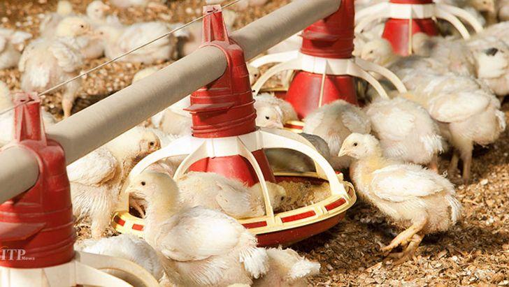 مرغداران ۵۰ درصد نهادهها را آزاد تهیه میکنند