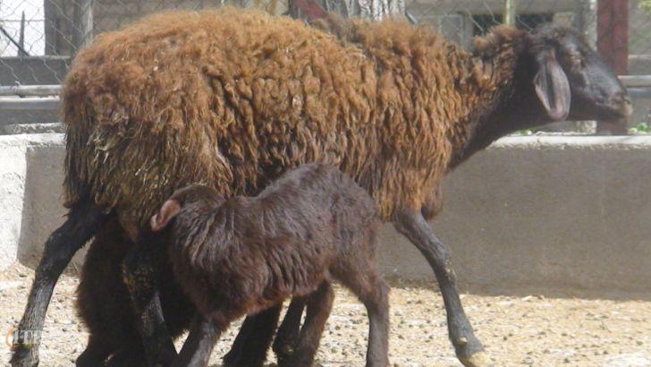 راندمان بالای گوسفندان اصلاح نژاد شیروان