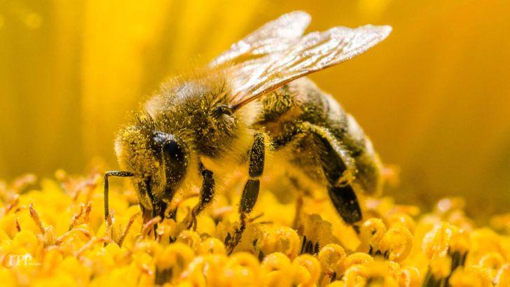 هر زنبور عسل قادر به حمل چند دانه گرده است؟
