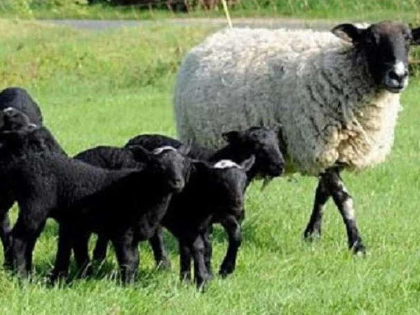 پرورش نژادهای پربازده گوسفند در فیروزآباد