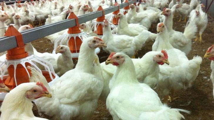 مرغداران صنعتی از انتشار آنفلوانزای فوق حاد پرندگان جلوگیری کنند