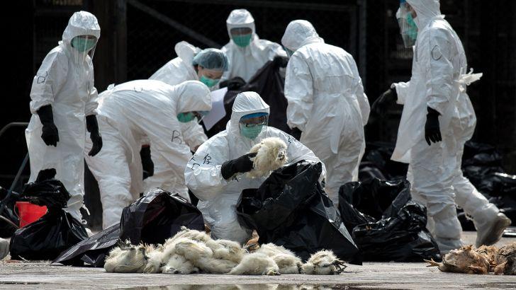 آنفلوانزای فوق حاد پرندگان در کمین واحدهای پرورش طیور