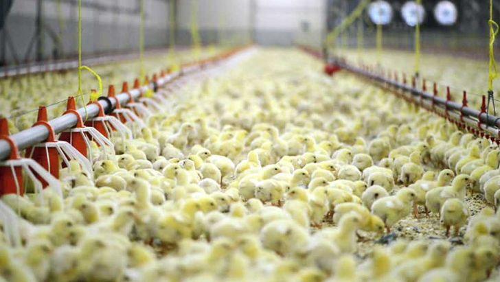 توپ افزایش قیمت مرغ در زمین واحدهای تولید جوجه یکروزه افتاد