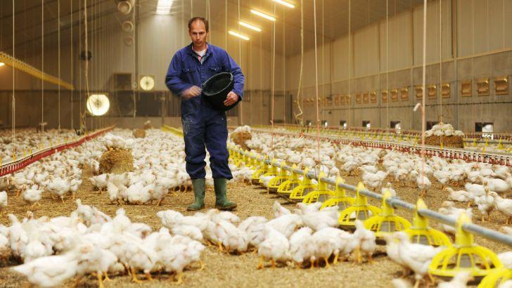 آخرین آمار فعالین صنعت مرغداری اعلام شد