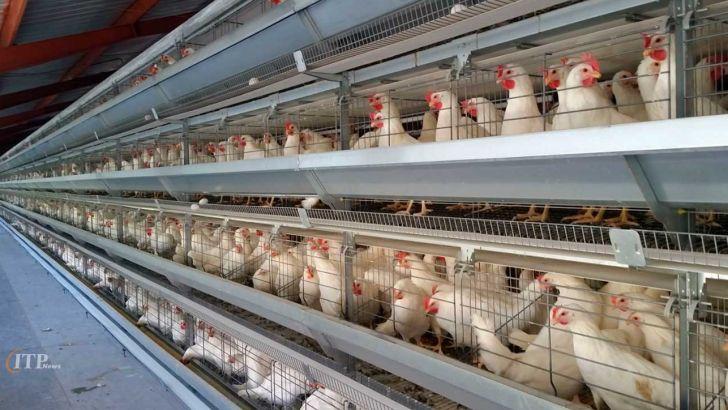 واحد صنعتی مرغ تخمگذار ۳ میلیون قطعه ای به بهره برداری می رسد