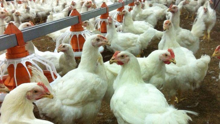 توزیع تمام نهادههای مورد نیاز مرغداران آذربایجانغربی