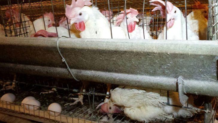 عدم تأمین نهاده مرغهای تخمگذار را روانه کشتارگاه کرد