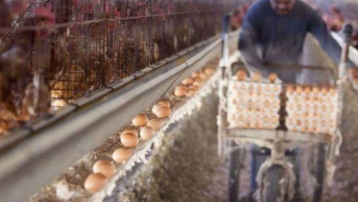اعلام آمادگی اداره کل پشتیبانی امور دام خراسان رضوی برای خرید تخم مرغ به نرخ مصوب