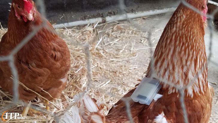 کشف آلودگی انگلی در مرغ ها با استفاده از یک سنسور کوچک