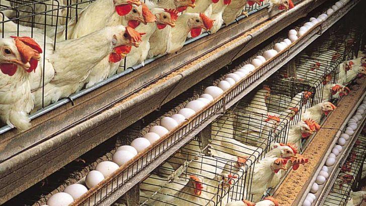 هشدار دامپزشکی درباره شیوع آنفلوانزای مرغی در سیستان و بلوچستان