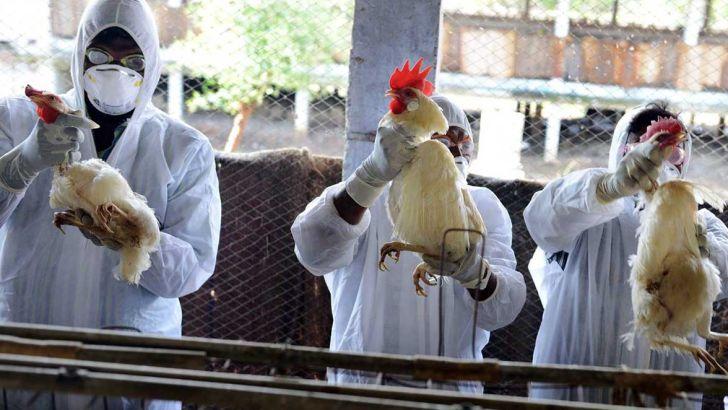 هیچ مورد آنفلوآنزای مرغی در انسان گزارش نشده است
