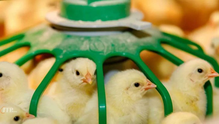 صندوق بیمه کشاورزی شیوه پوشش بیمه اولی طیور را اعلام کرد