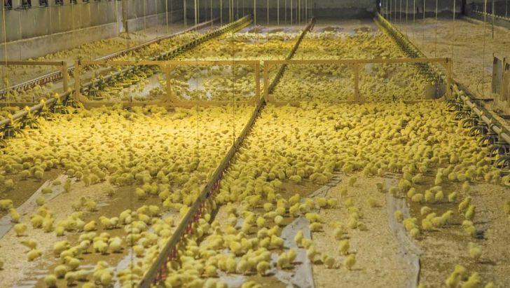 افزایش 7 درصدی جوجه ریزی در مرغداریهای کردستان