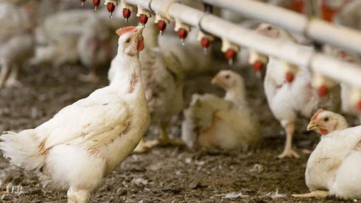 مرغداران کل مرغ تولید شده شان را باید به کشتار گاه ها تحویل دهند