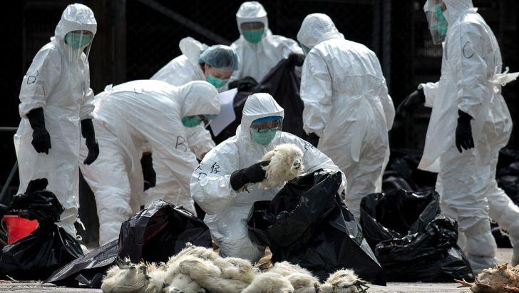 معدوم شدن بیش از یک میلیون قطعه مرغ به دلیل آنفلوآنزا
