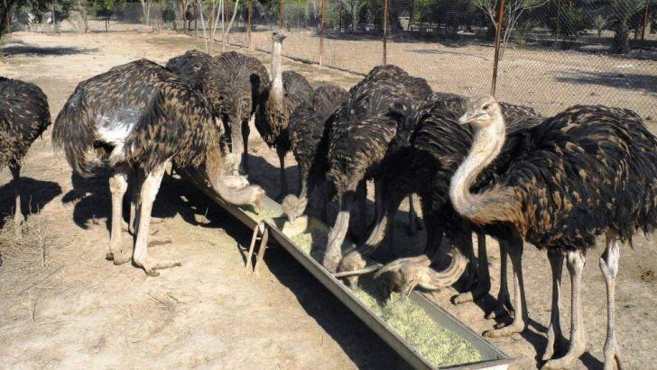 افتتاح واحد پرورش شتر مرغ در مهریز