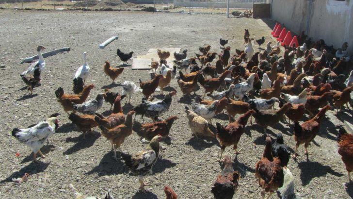 امکان تولید یک میلیون قطعه جوجه یکروزه در مرکز اصلاح نژاد مرغ بومی مازندران وجود دارد