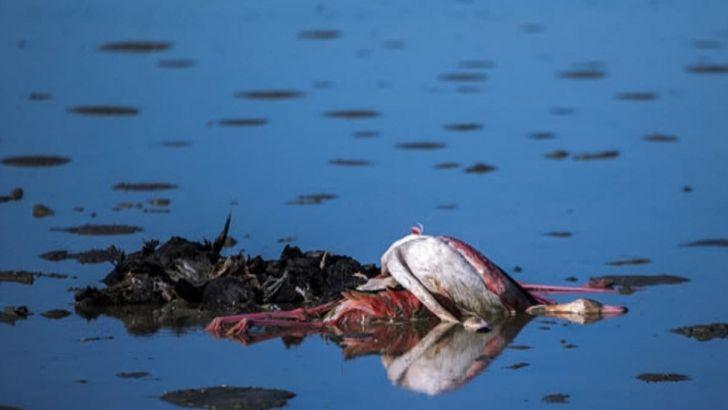 دامپزشکی بوتولیسم را علت قطعی مرگ پرندگان میانکاله اعلام کرد