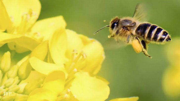 جذابیت کلزا برای زنبورهای عسل