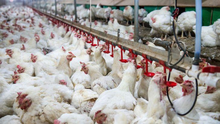 کاهش ۷۰۰ واحدی پرورش مرغ گوشتی در تهران