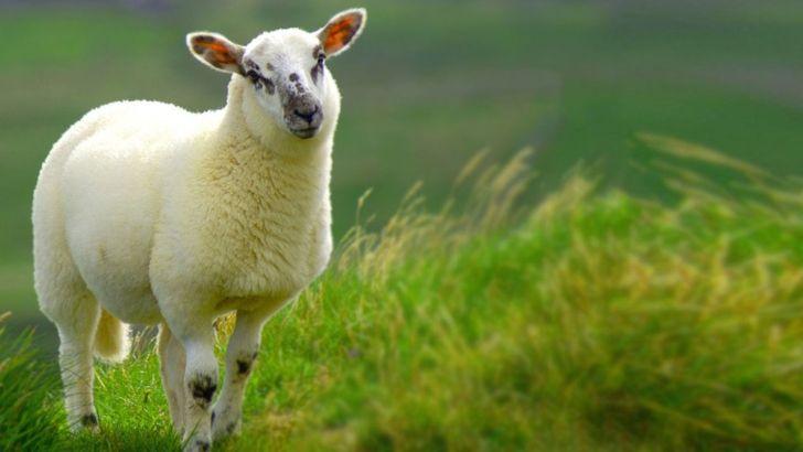 گوسفند زنده به سبد کالای مردم اضافه شد