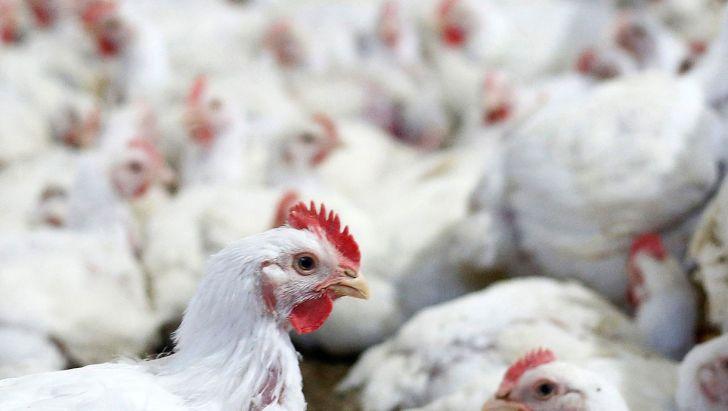 شاخص هزینه تولید مرغ 30 درصد افزایش یافت