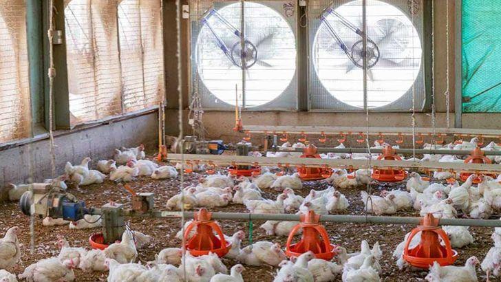 نصب و راه اندازی تهویه ای مناسب برای مرغ های گوشتی
