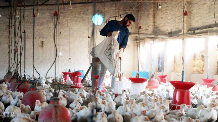 مرغداران: نگران کاهش نرخ مرغ به زیر قیمت مصوب هستیم