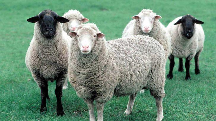 اجرای طرح اصلاح نژاد گوسفند بومی به نژاد رومانف