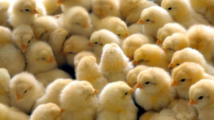 الزام به اخذ مجوز جوجه ریزی در واحدهای مرغداری گوشتی
