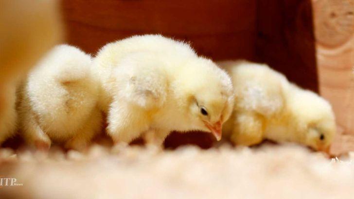 برخی مرغدارها در تامین جوجه تحت فشار هستند
