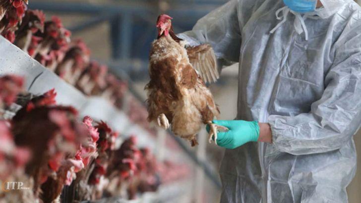 شیوع انفولانزای مرغی برای دومین بار