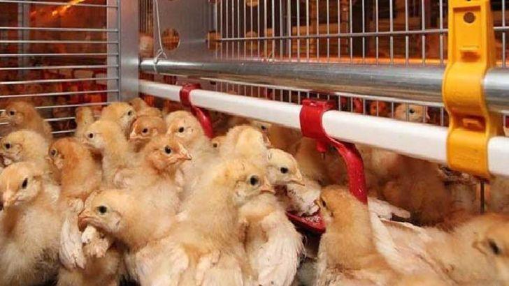 دلایل نابسامانی بازار جوجه یکروزه تخمگذار