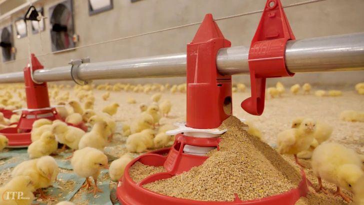 نژاد آرین، مرغ اجداد مورد نیاز کشور را تامین میکند