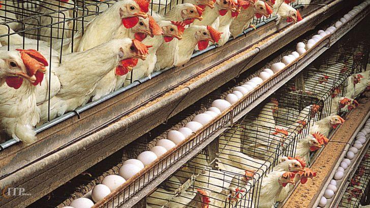 سه راهکار برای کنترل بازار تخم مرغ