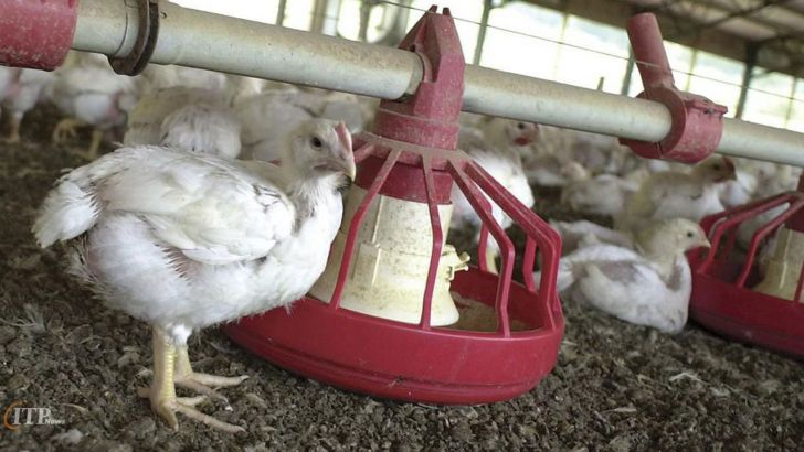 علت افزایش مجدد قیمت مرغ