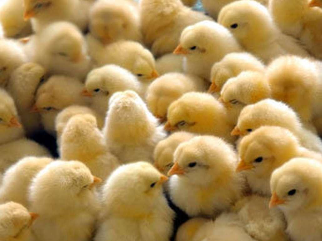 افزایش ماهانه یک میلیون جوجه ریزی در مرغداری های آذربایجان غربی