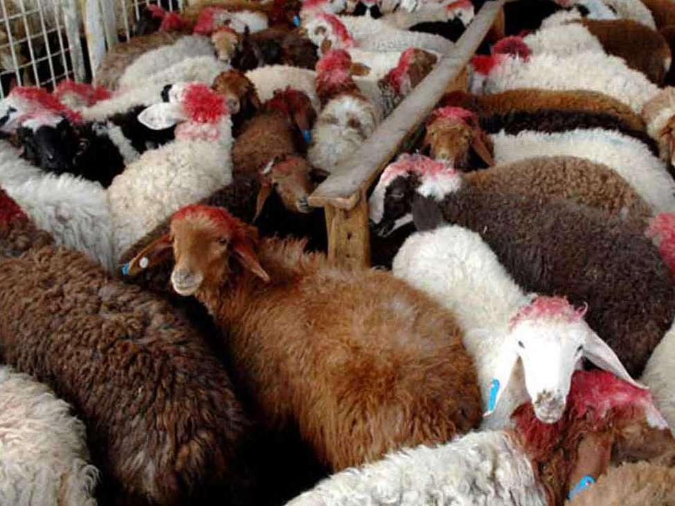 قاچاق دام به دلیل بالا رفتن قیمت تمام شده گوشت قرمز