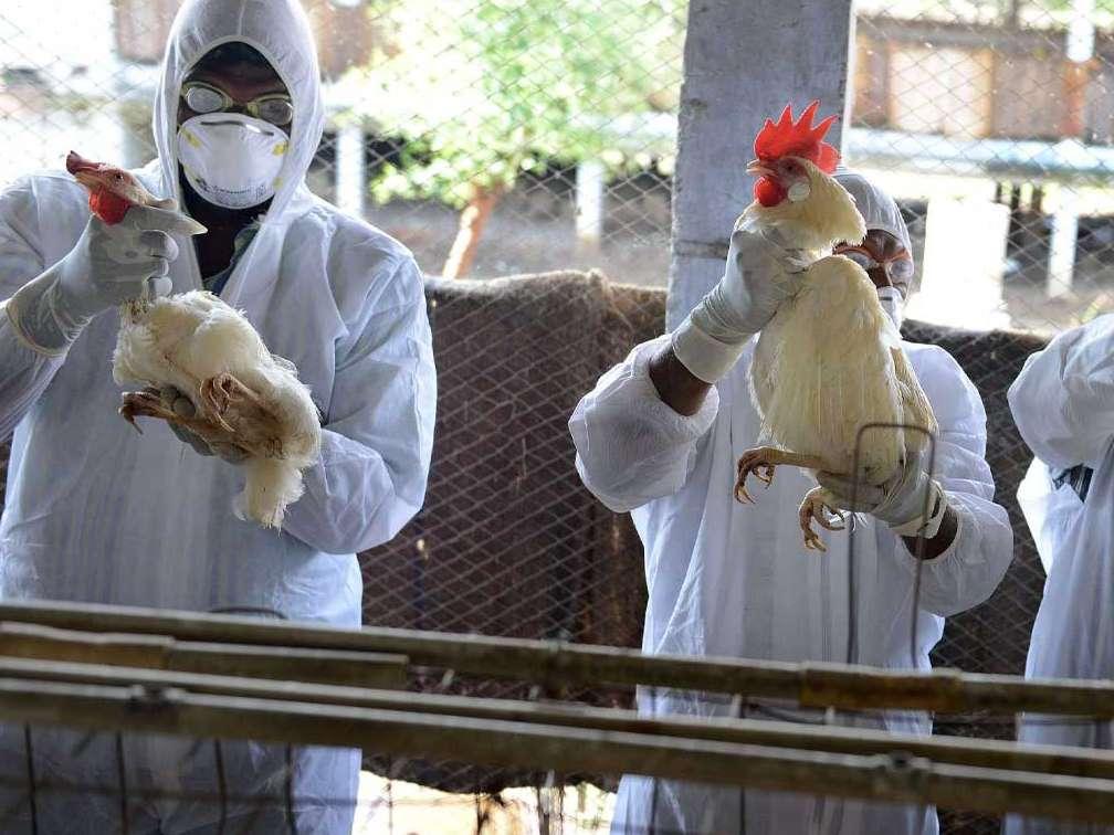 انفولانزای مرغی و صنعت مرغداری جهان