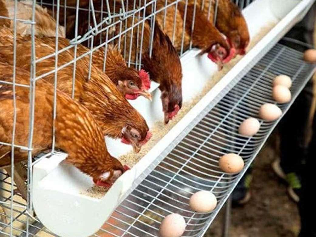 بعد از ۳ ماه زیان مرغداران به قیمت مصوب رسیدیم