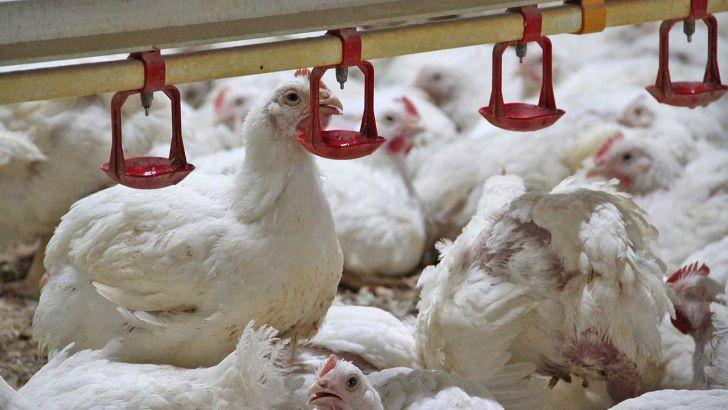 میزان تولید مرغ از آنچه وزارت جهاد اعلام میکند، بسیار کمتر است