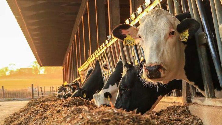 افزایش فیبر قابل هضم در خوراک گاو شیری