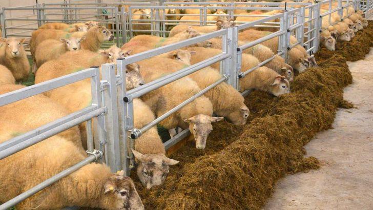 تغذیه گوسفند با کنسانتره و علوفه