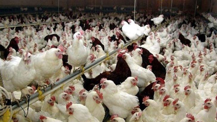 ابلاغ دستورالعمل ارتقای سلامت بهداشتی مرغ از تولید تا عرضه