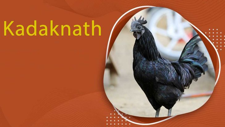 معرفی مرغ سیاه Kadaknath