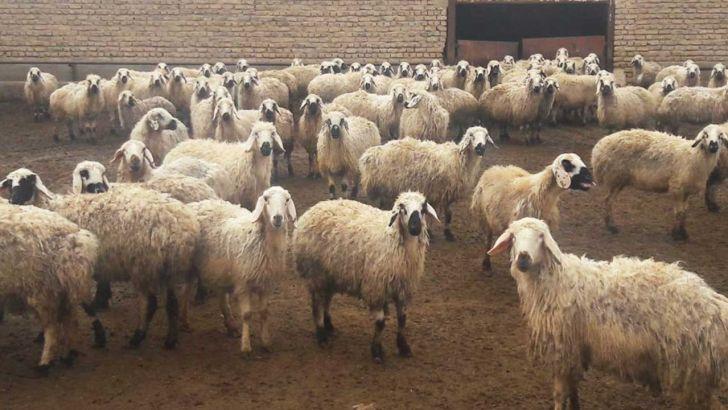 ۱۶۰ هزار تن گوشت گوسفندی مازاد روی دست دامداران ماند