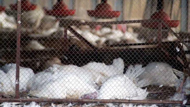 گزارش انفولانزای مرغی اروپا در بهار