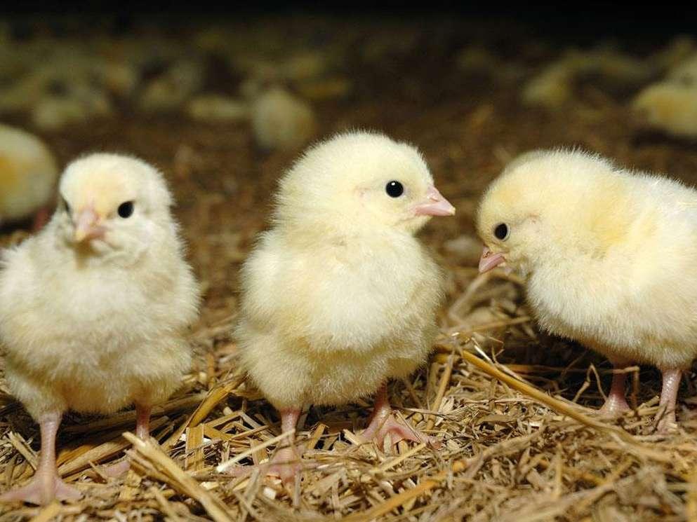 افزایش بازدهی مرغ گوشتی